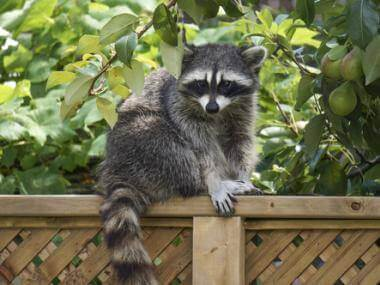 How to Get Rid of Raccoons, Possums, and Skunks in Your Yard